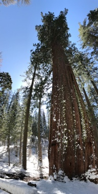 Tuolumne Grove of Giant Sequoias Yosemite