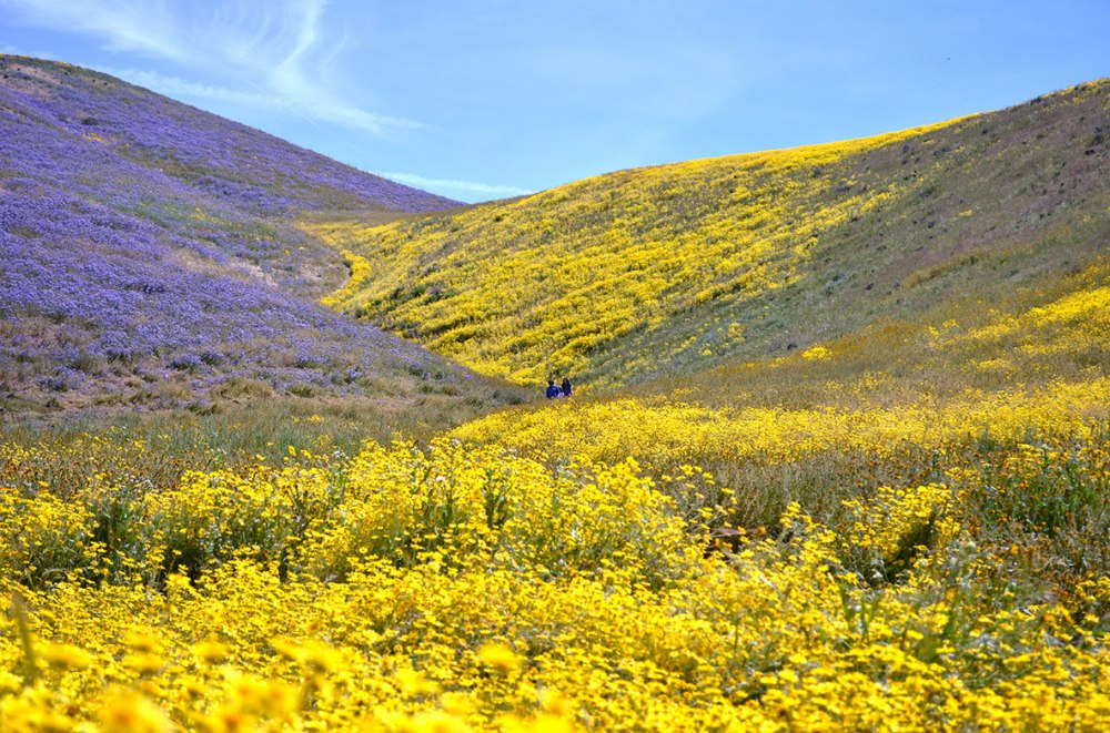 Carrizo Plain Super Bloom 7 Mile Road