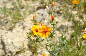 Carrizo Plain Super Bloom Wildflowers