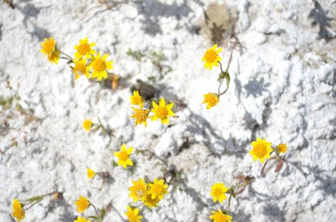 Carrizo Plain Wildflowers Soda Lake