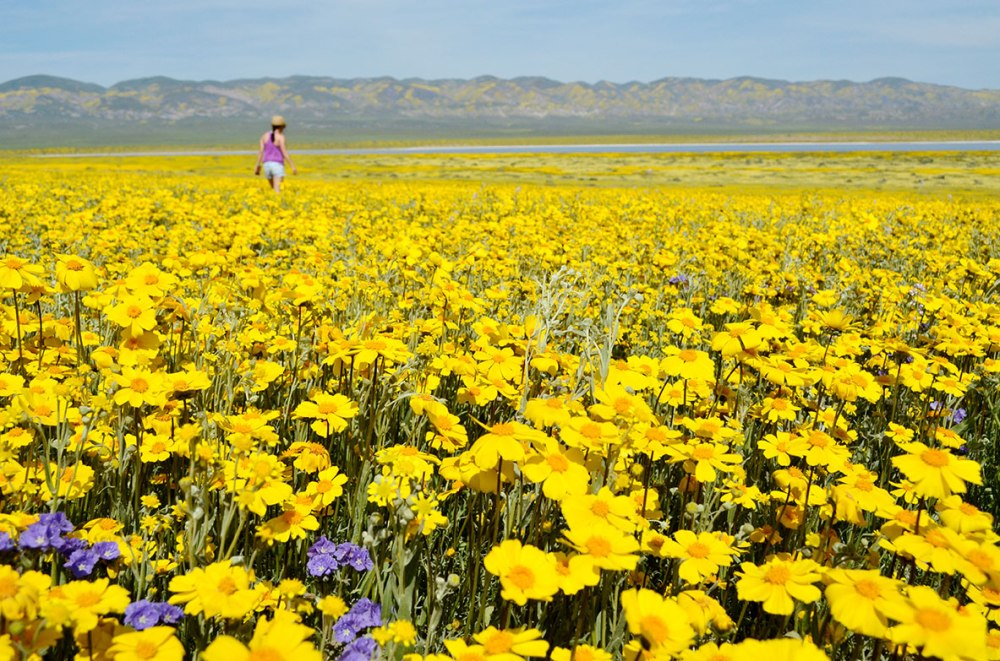 Carrizo Plain Wildflower Super Bloom