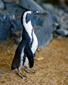 Maui Baby Travel Guide Hyatt Regency Ka'anapali Penguin