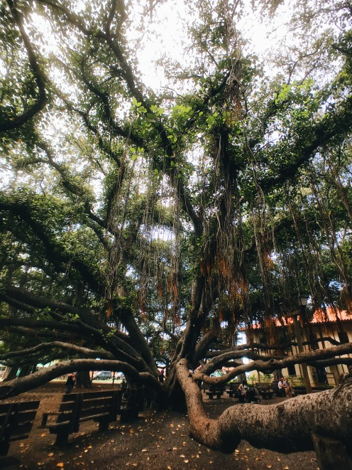 Maui Baby Travel Guide Banyan Tree Park
